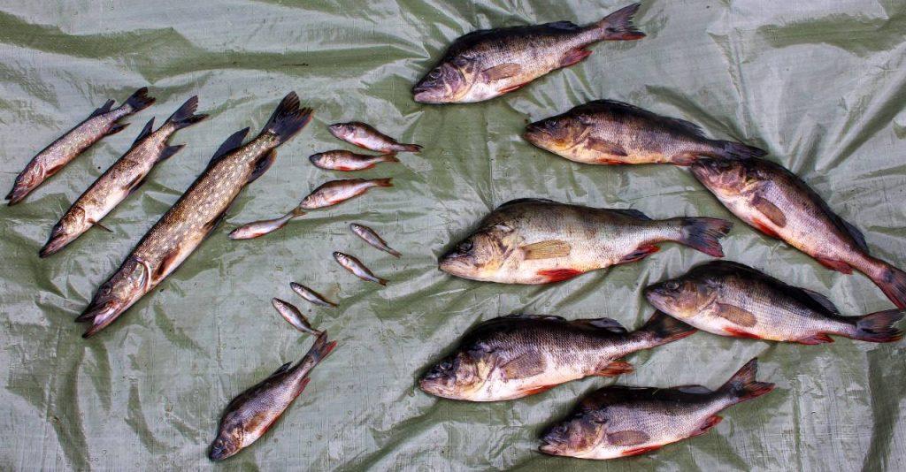 Fångst i ett provfiskenät som Carl-Johan Månsson utfört